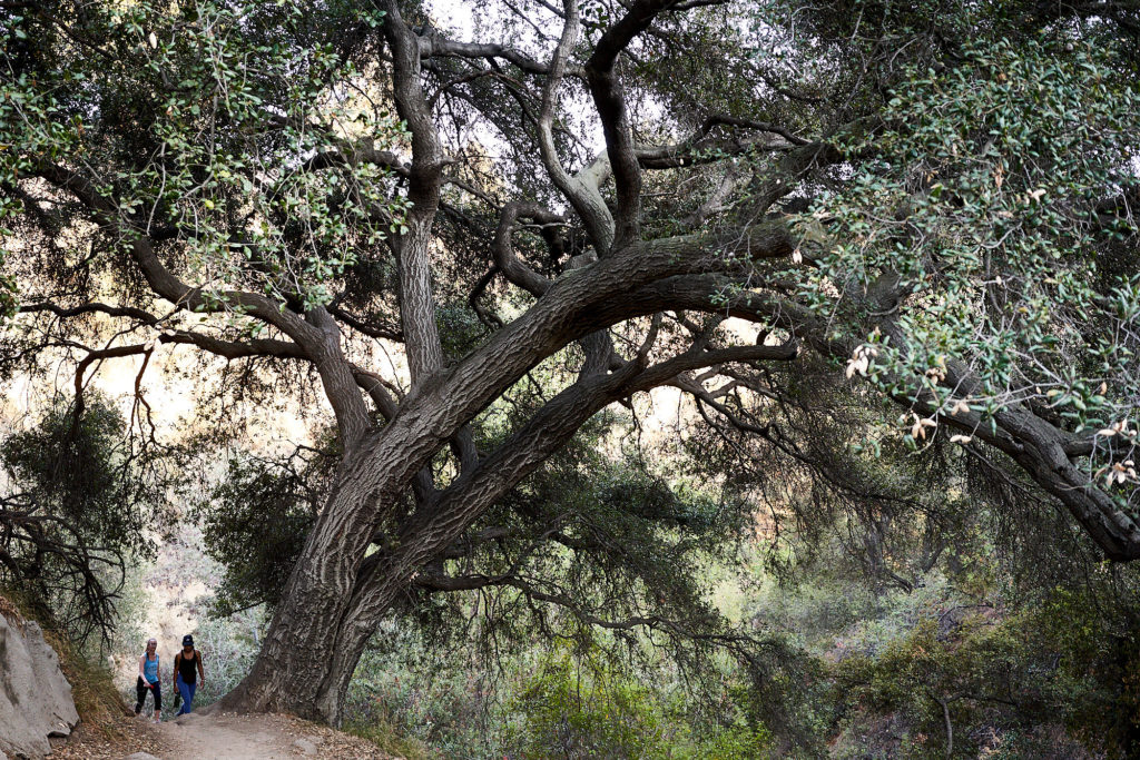 Many grand, old oak trees in El Prieto Canyon cover the trail with valuable shade.
